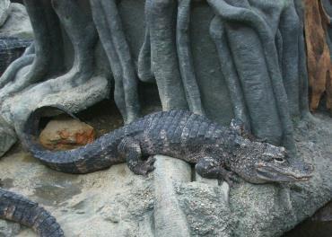 تمساح چینی