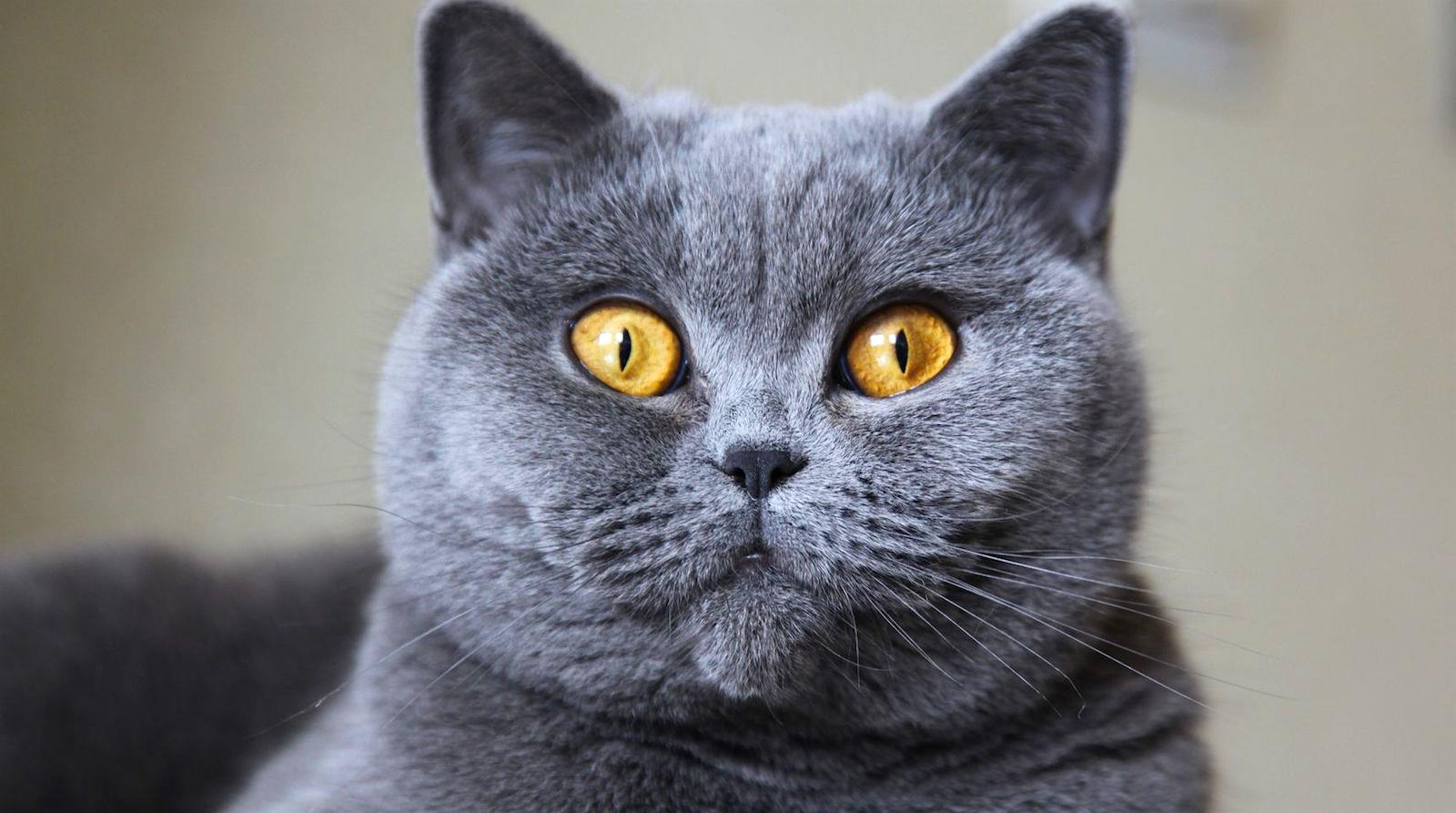 گربه موکوتاه بریتانیایی