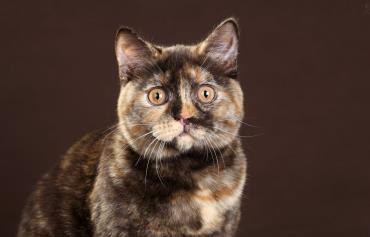 شخصیت و نگهداری گربه مو کوتاه بریتانیایی
