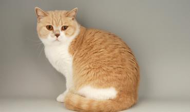 نگهداری گربه موکوتاه بریتانیایی