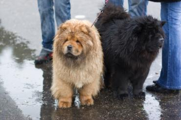 سگ چاو چاو