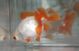 ماهی گلدفیش دم طاووسی