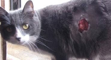 درمان آبسه گربه