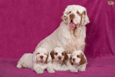 توله سگ کلامبر اسپانیل