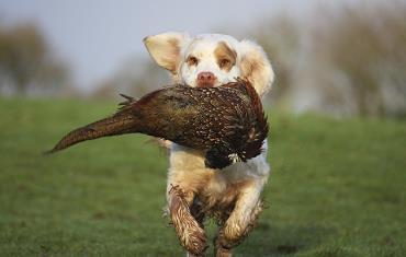 سگ کلامبر در شکار