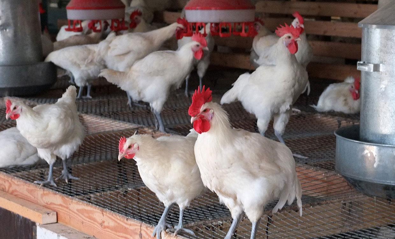 صنعت مرغ رو به سوی ورشکستگی است