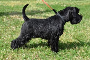 سگ اشنایزر