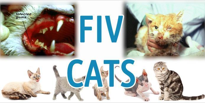 ایدز در گربه ها (FIV)