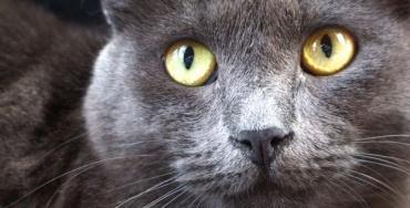 گربه آبی روسی چشم زرد