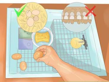 نحوه قراردادن تخم مرغها در جوجه کشی