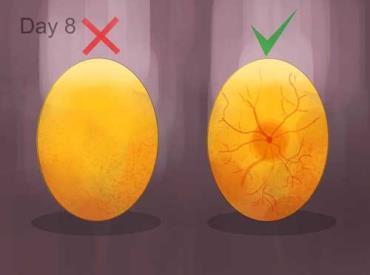 بازرسی تخممرغها بعد از هفته اول