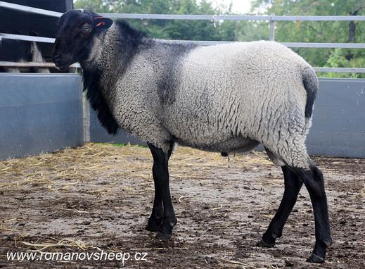 گوسفند نژاد رومانف