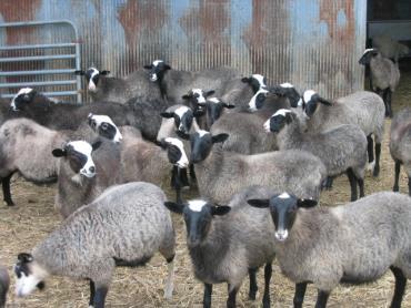 استفاده گوسفند رومانوف