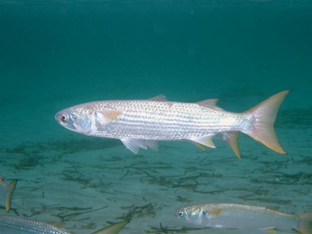 کفال ماهیان