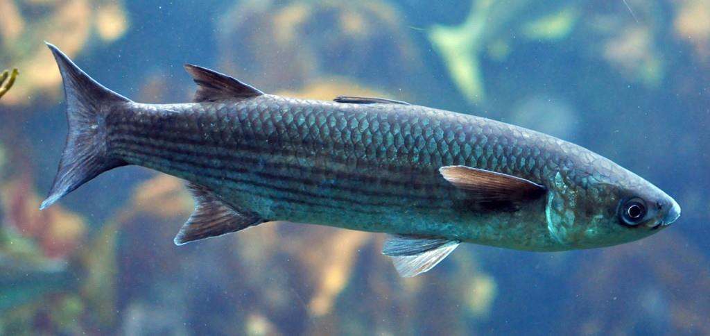 پرورش ماهی کفال در ایران