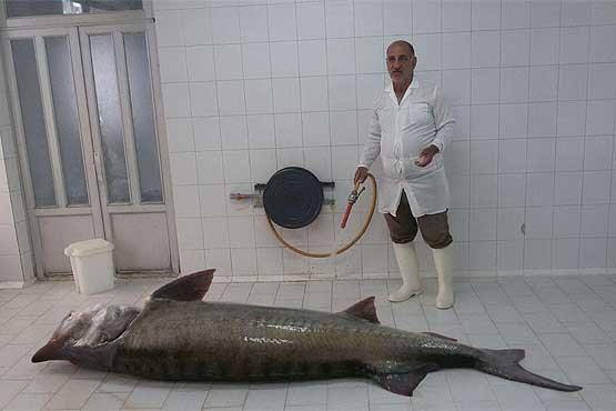 صید فیل ماهی ۲۰۵ کیلویی از دریای خزر