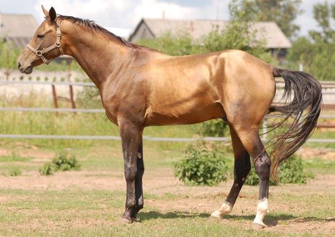 اسب نژاد بادنی
