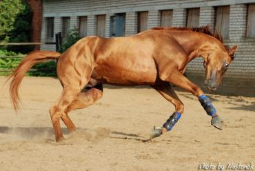خصوصیات اسب بادنی