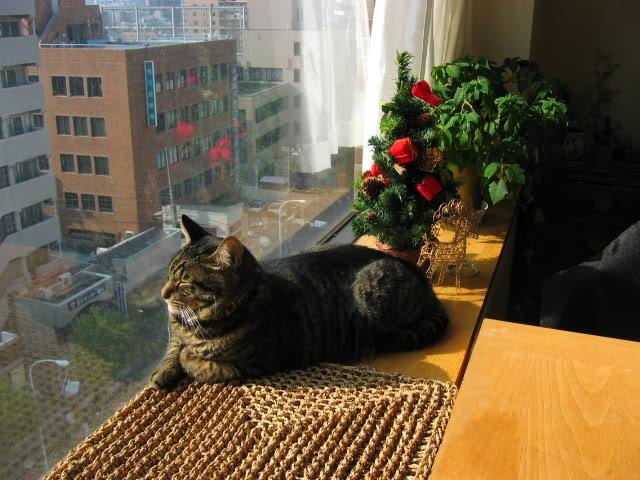 گربه آپارتمانی