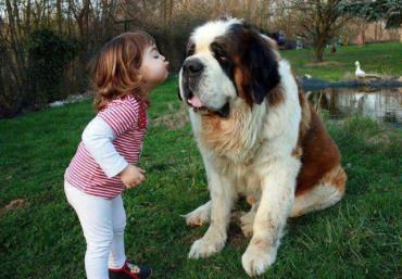 سگ سنت برنارد