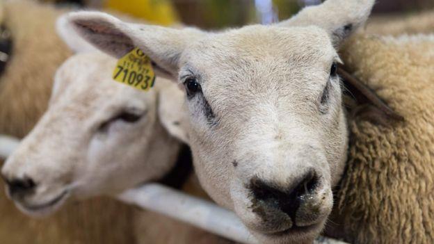 تشخیص چهره افراد آشنا توسط گوسفند