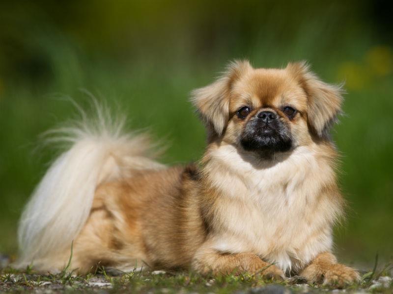 سگ نژاد تیبتن اسپانیل