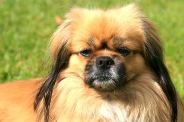 تاریخچه سگ تیبتن اسپانیل