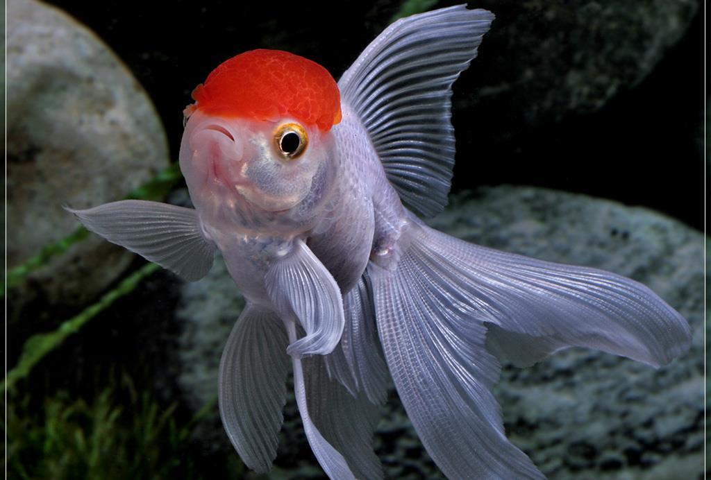 ماهی گلدفیش ردکپ