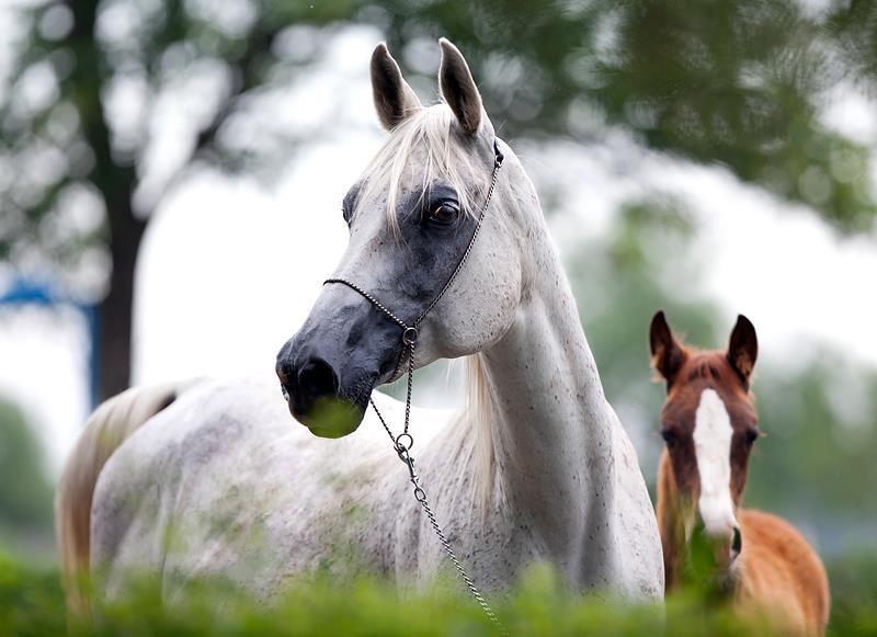 اسب نژاد ترسک