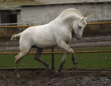 اسب نژاد ارلو تروتر