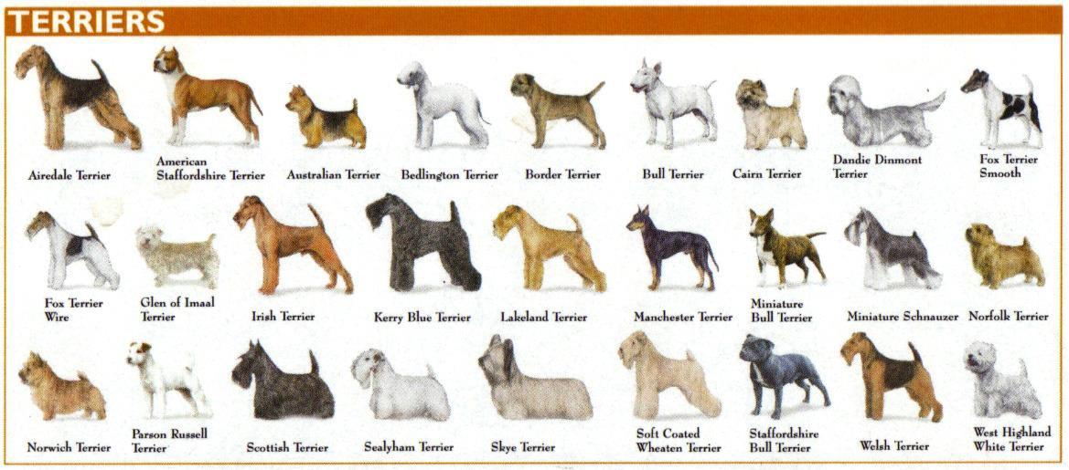 گونههای مختلف سگ تریر