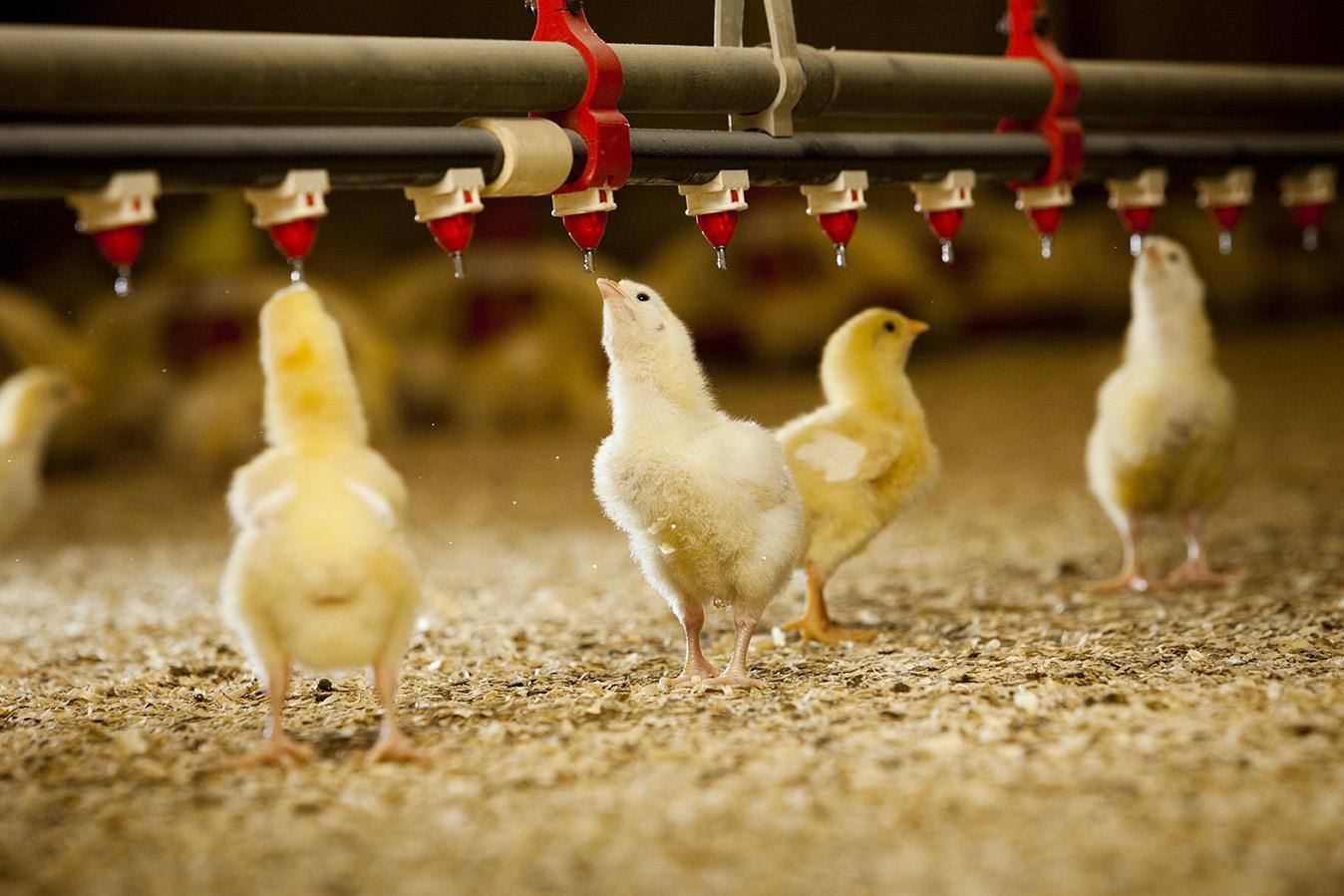دانخوری و آبخوری در مرغداری