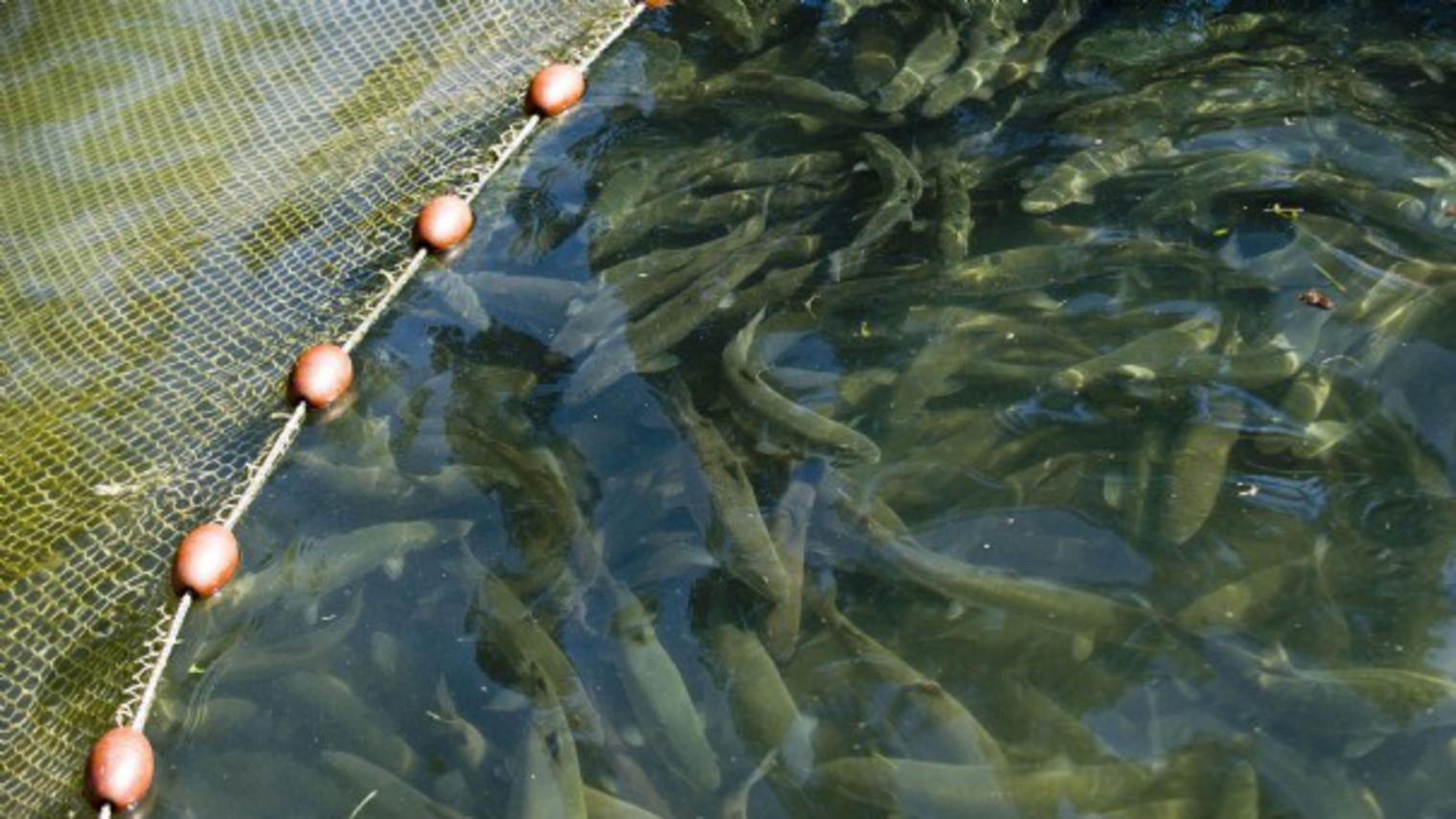 بررسی مقاومت آنتیبیوتیکی در آبزیان