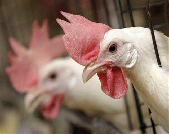 اثرات کمبود ویتامینها در جیره مرغ مادر