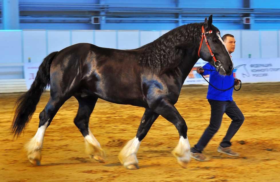 اسب نژاد ولادیمیر هیوی درافت