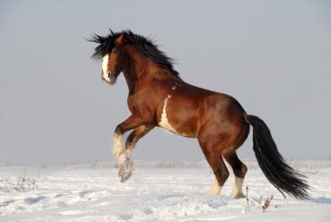 اسب ولادیمیر هیوی درافت