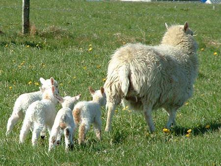 دلایل بروز اسهال در گوسفند