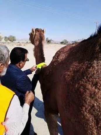 گردنبند شبرنگ شتر