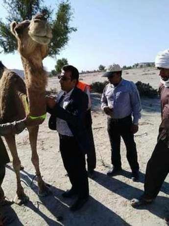 گردنبند شبرنگ برای شتر