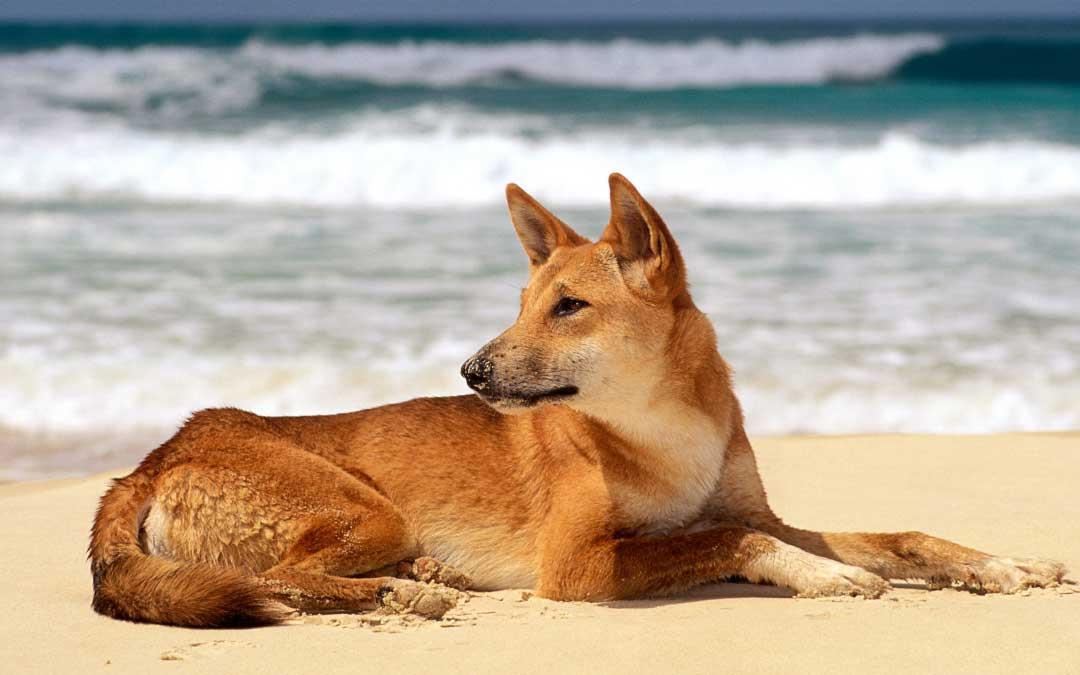 سگ نژاد دینگو