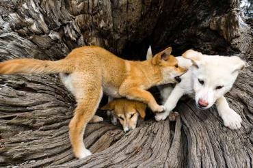تاریخچه سگ دینگو