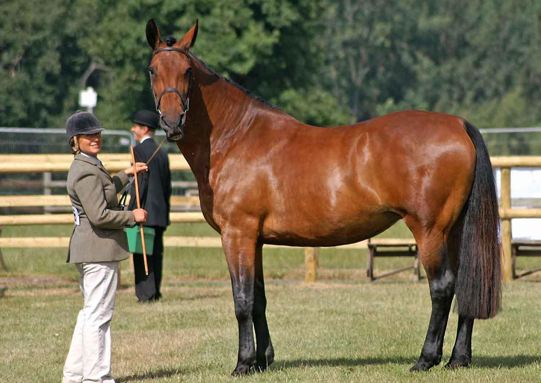اسب نژاد کلولند بی