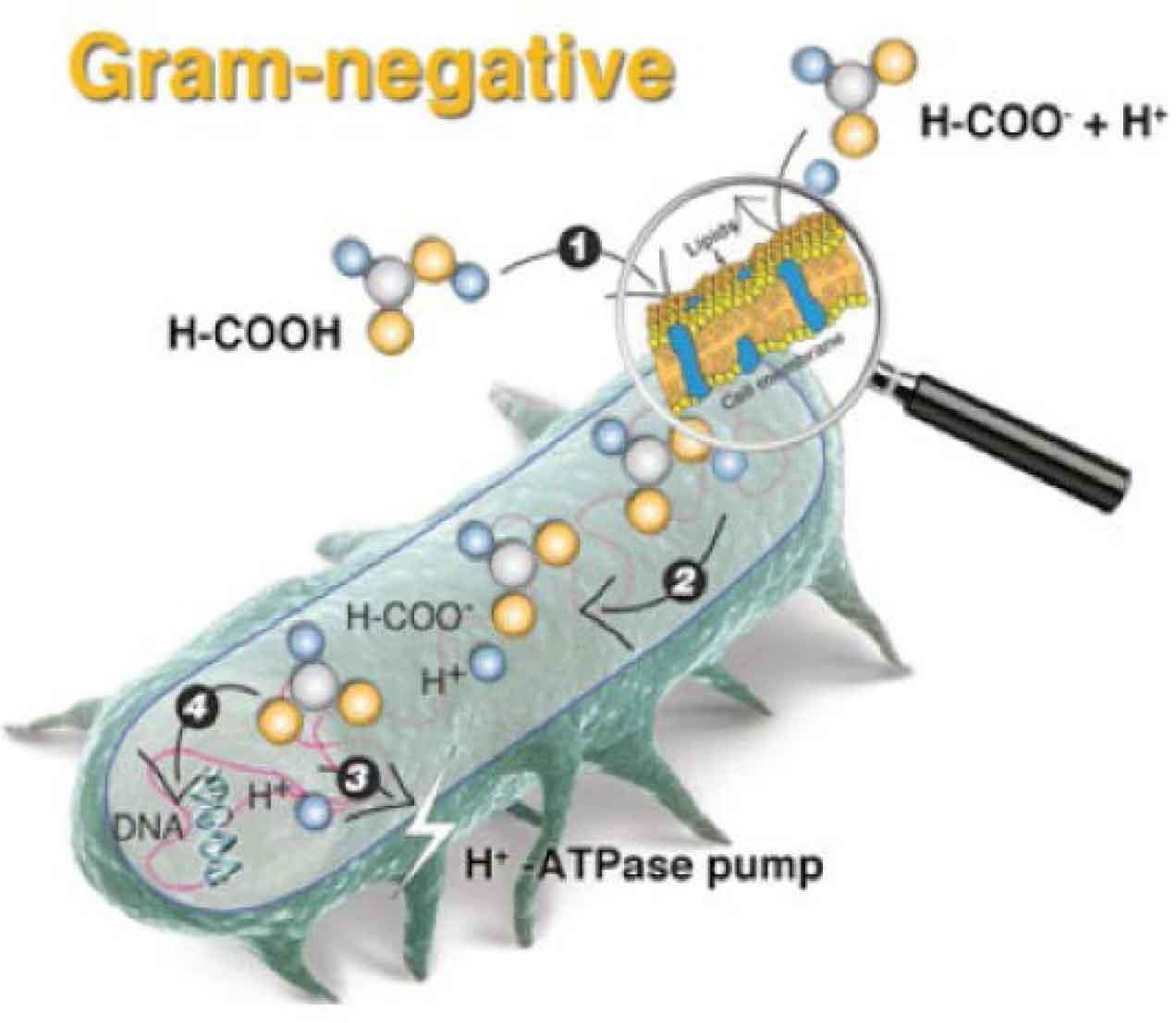 سرنوشت اسید آلی درون باکتری گرم منفی