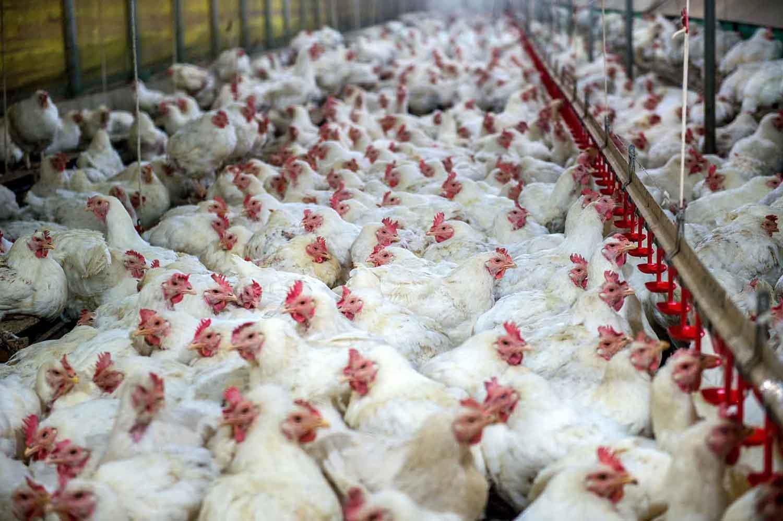 اهمیت تراکم در مرغداری