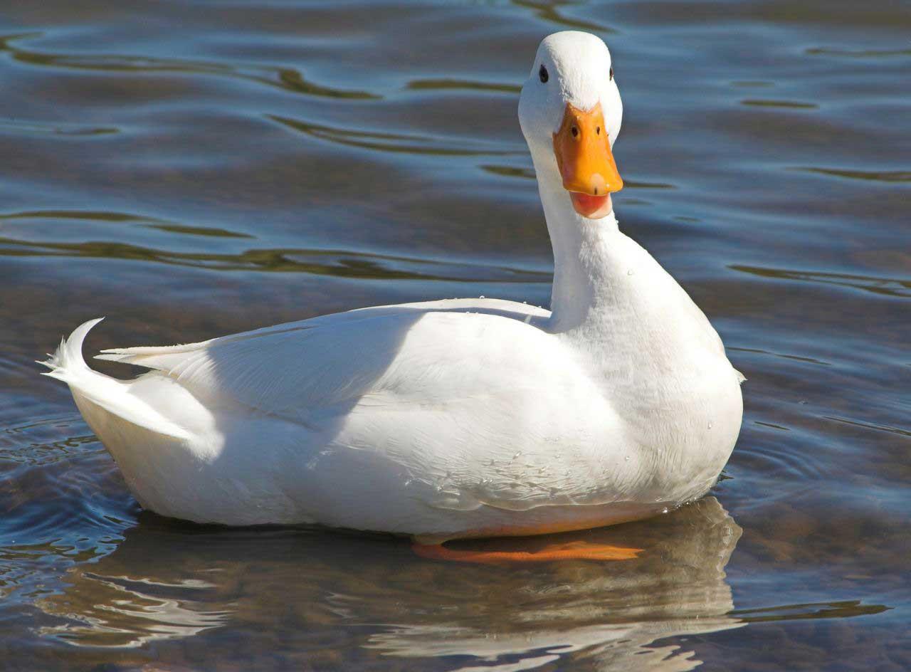 نگهداری از اردک در خانه