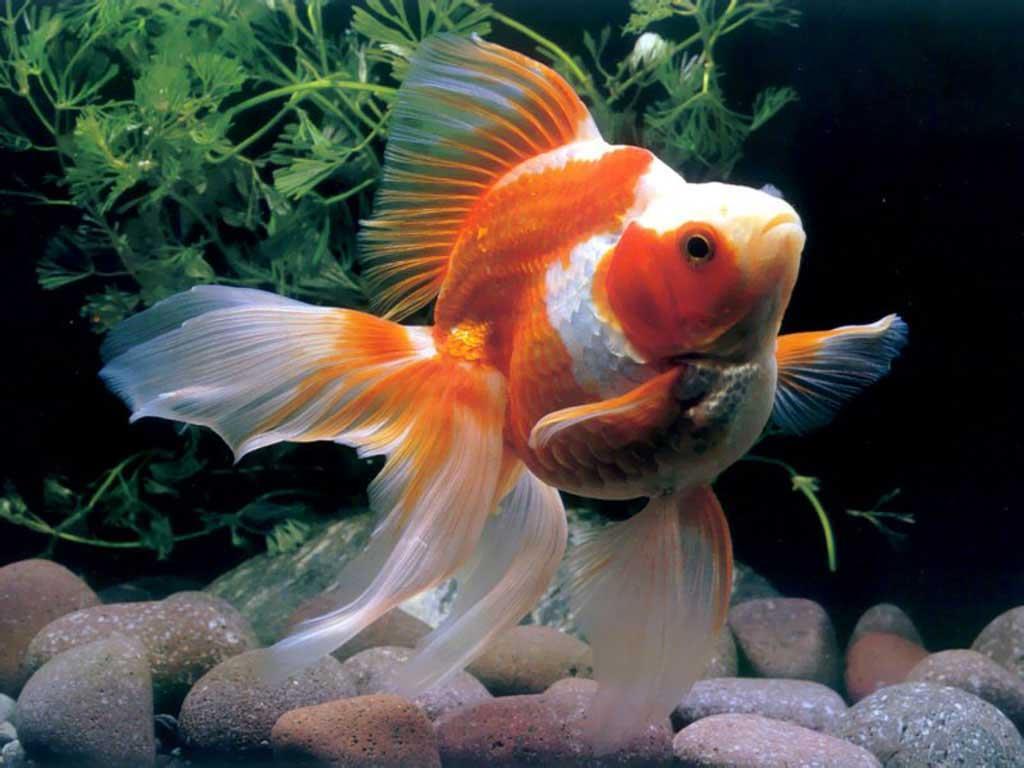 ماهی گلدفیش رایکین (Ryukin Goldfish)