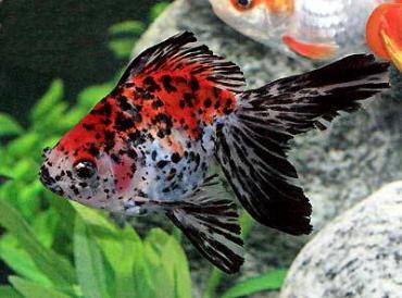ماهی گلدفیش رایکین