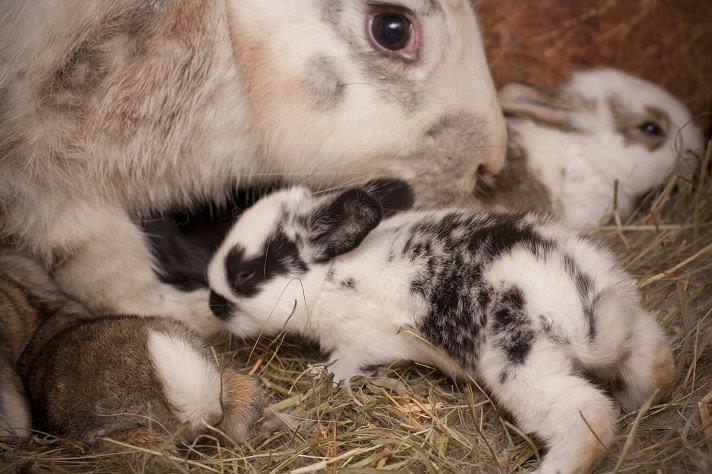 آشنایی با تولیدمثل خرگوش