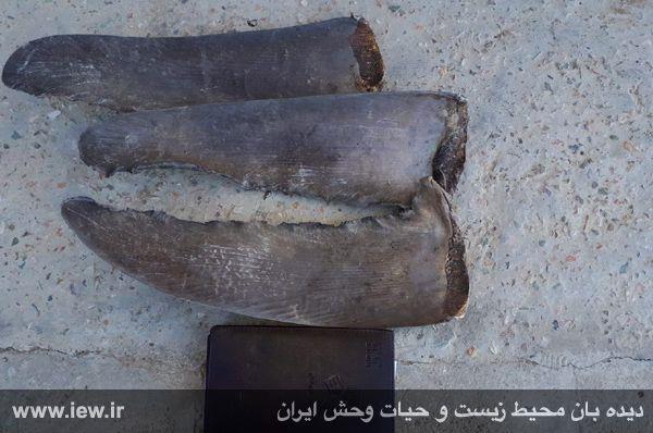سوپ باله کوسه 1400 قربانی خود را از خلیج فارس گرفت