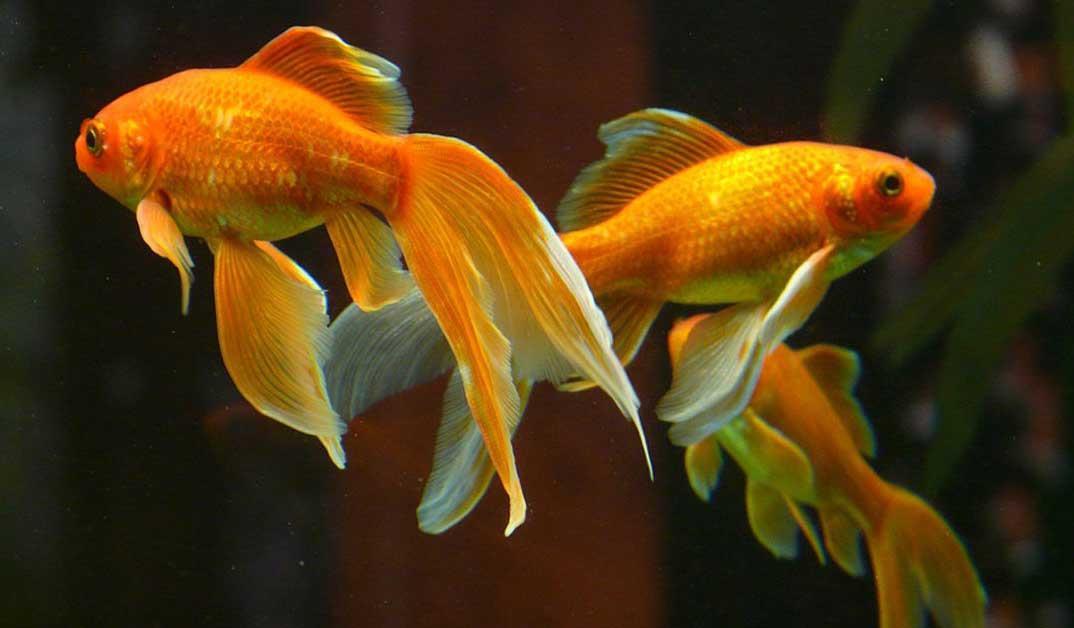 اصول نگهداری ماهی گلدفیش (بخش دوم)